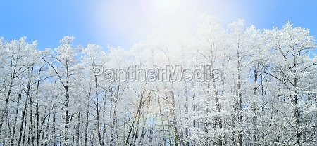 trees covered with hoarfrost sunny rays