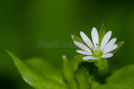 white flower in the municipality of