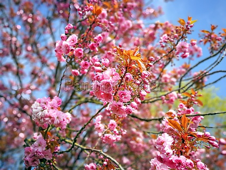 beautiful pink cherry blossom on a