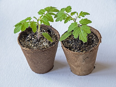 tomato seedlings variety house in fibre