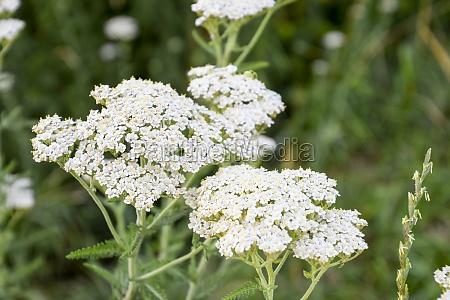 inflorescence of celandine the medicinal plant
