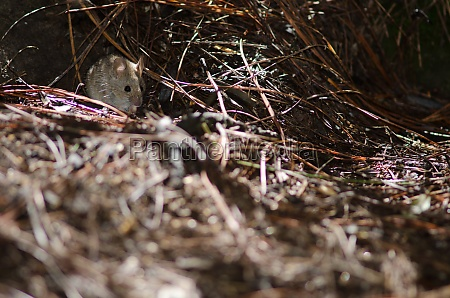 house mouse on the ground of