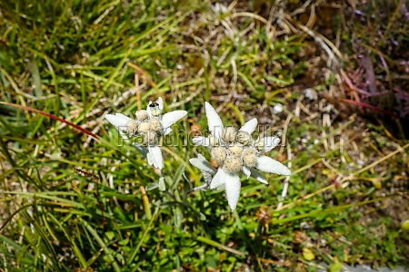 edelweiss flowers in vanoise national park
