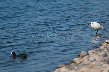 little egret egretta garzetta