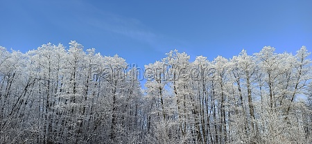 trees covered with hoarfrost snowy winter