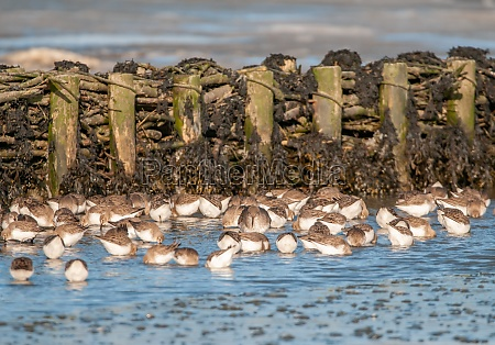 alps sandpipers