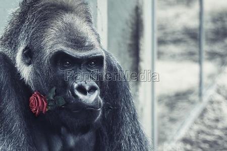 wild gorilla with rose flower in