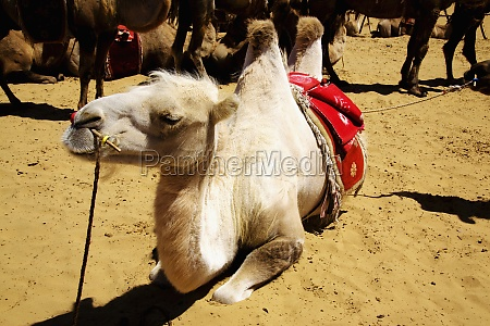 bactrian camels camelus bactrianus in a