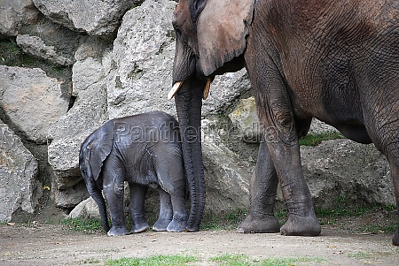 elephant cow with her calf