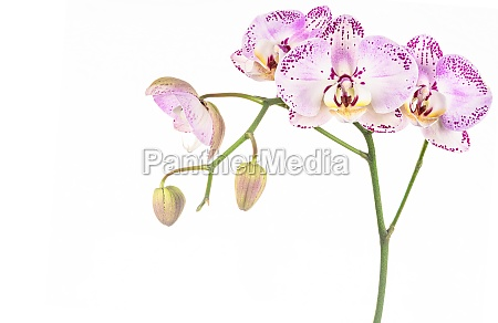 studio shot of purple orchid