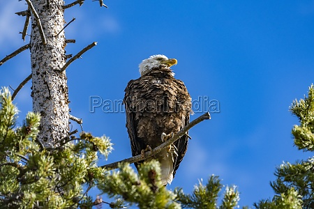 usa idaho stanley bald eagle perching