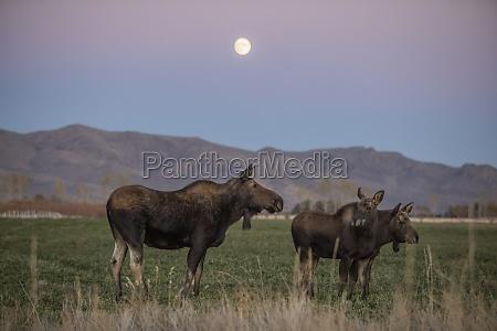 usa idaho bellevue cow moose alces