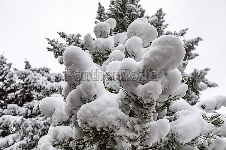 pine tree covered in winter snow