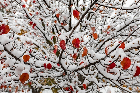 red autumn leaves on tree covered