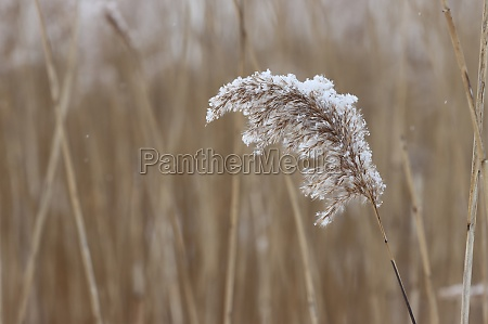 dried reed inflorescence covered with snowflakes