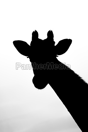 southern giraffe head and neck in