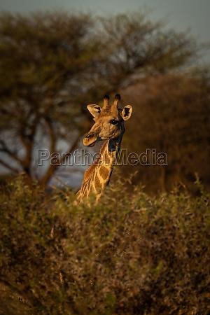 southern giraffe pokes its head over