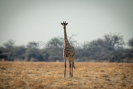 southern giraffe stands facing camera on