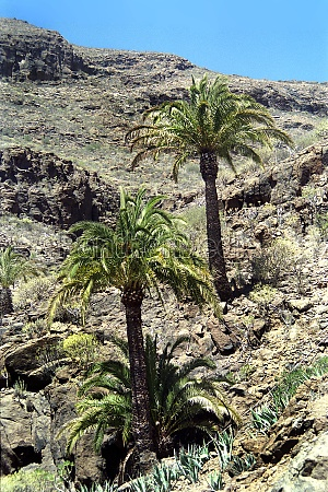 palm trees in the mountains of