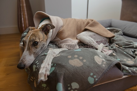 cute brindle and white pet greyhound