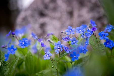 blue forget me not and colourful