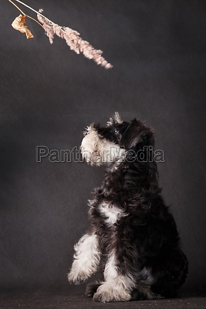 miniature schnauzer dog with spikelet of