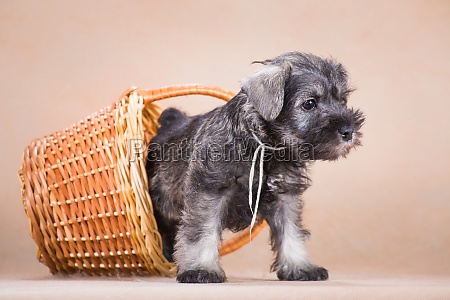 miniature schnauzer puppy crawls out of