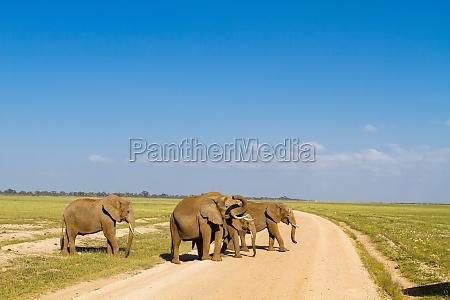 a group of elephants amboseli kenya