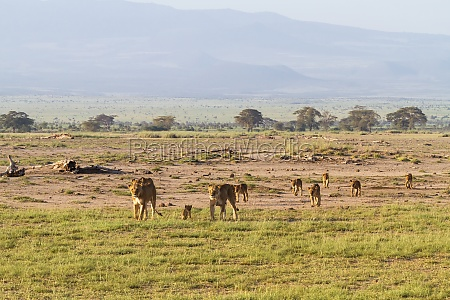 landscape with pride of lions amboseli