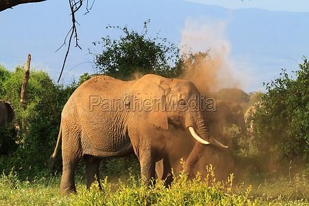 african elephant in a dusty cloud