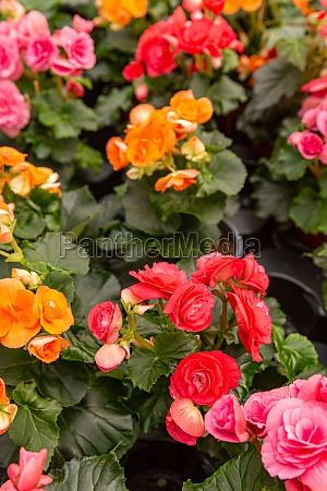 colorful begonia roses