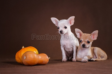 two chihuahua dogs are sitting next