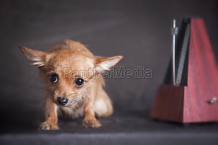 chihuahua ginger dog and metronome