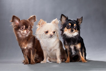 three dogs of chihuahua breed different