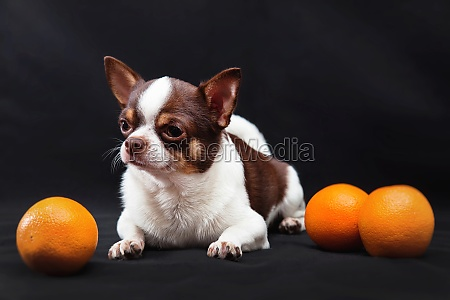 chihuahua dog with oranges on a