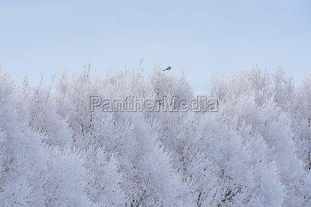magpie perching on frosty tree in