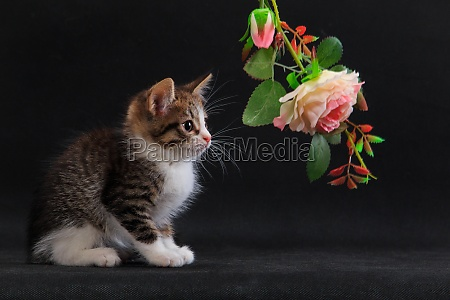 kitten with pink rose flower on