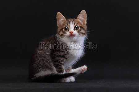 striped kitten lifting its hind paw