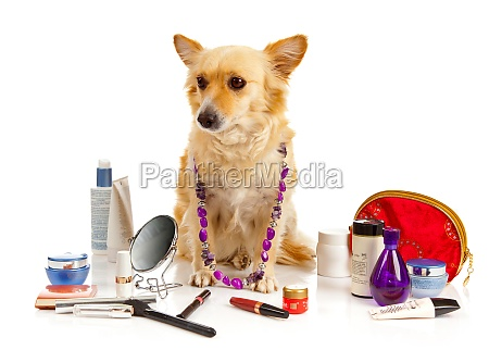 spitz dog with cosmetics