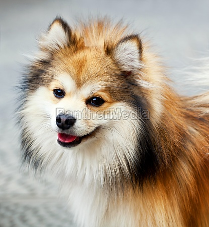 closeup of a pomeranian dog