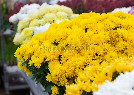 yellow flowers chrysanthemum chamomile flowers background