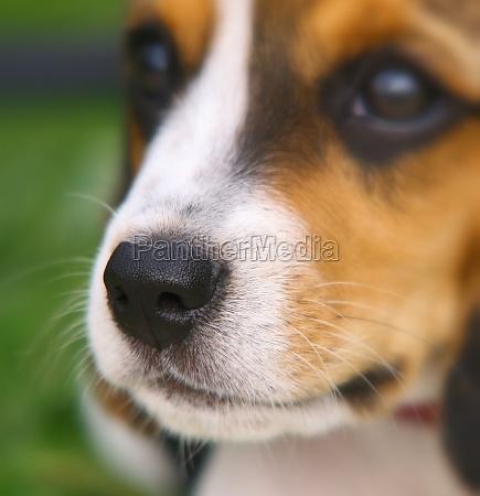 nose of cute beagle puppy