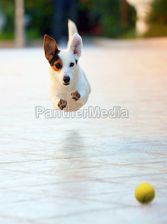 dog runs fun and happy