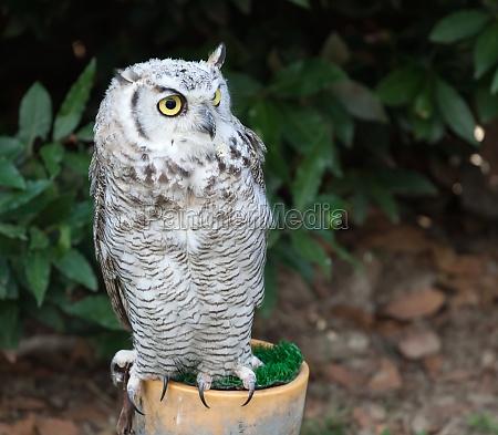 grey owl perched