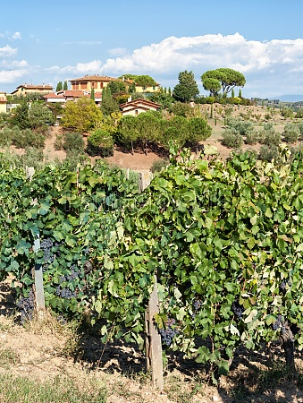 tuscan vineyard with red grapes