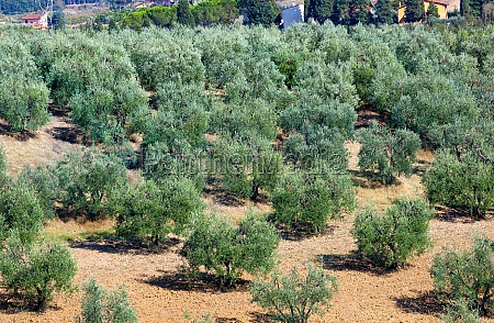 tuscan landscape with olives trees