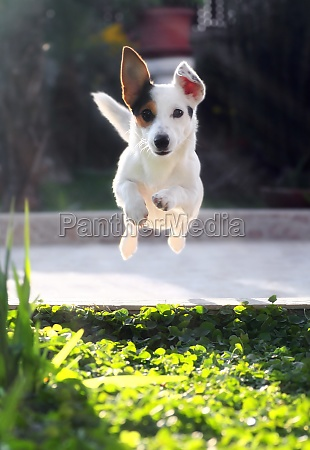 jumping jack russell terrier for thrown