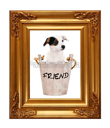 jack russell puppy in wooden bucket
