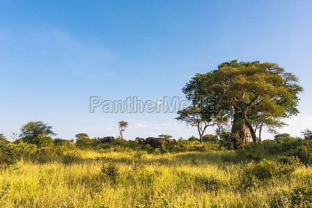 millennial baobab and a herd of