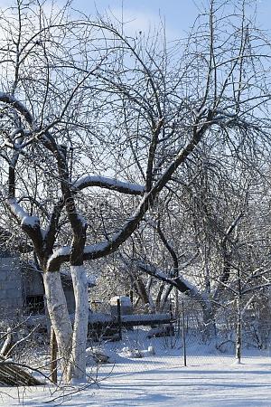snowy apple tree in wintertime belarus